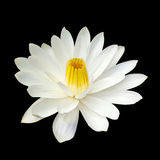 White lotus  isolated on black background Stock Image