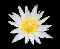 White lotus isolated. Top view of white lotus isolated black background Stock Photography