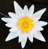 White lotus in the lake. White lotus in top view Royalty Free Stock Photography