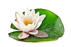 White lotus on leaf. White lotus with leaf on white background stock photo