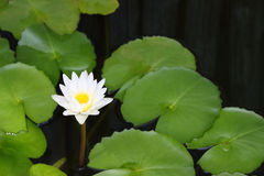 White lotus and leaf Royalty Free Stock Photo