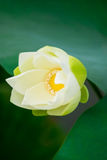White lotus Stock Photo