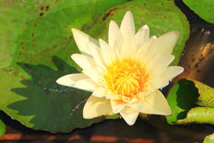 White lotus. With the leaf background stock images