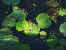 White lotus and leaf Stock Photography