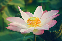 White lotus lily flower Royalty Free Stock Photography
