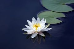 White lotus lily flower on water Stock Images