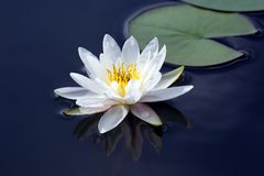 White lotus lily flower on water. botany and vegetation