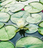 A white lotus and lily pads in a pond. An up close view of a white lotus flower blooming and lily pad floating in a botanical water garden royalty free stock photography