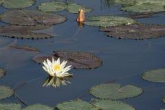 White lotus and lotus bud Royalty Free Stock Photos