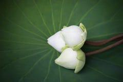 White lotus on Lotus leaf Royalty Free Stock Photos