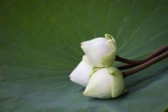 White lotus on Lotus leaf Royalty Free Stock Image