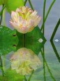White lotus lotus pond reflection. In hangzhou, zhejiang province, China stock photos