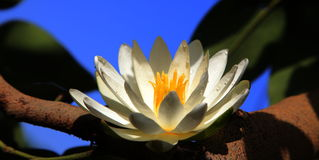 White Lotus. Es on the tree branch Royalty Free Stock Images