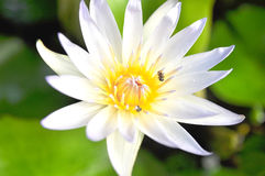 The white lotus in the morning Stock Images