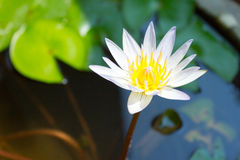 White lotus. Royalty Free Stock Photography
