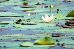 White lotus or Nelumbo nucifera. White flower of lotus or Nelumbo nucifera in Thailand, Asia Royalty Free Stock Photography