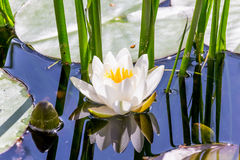 White lotus (Nymphaea alba) in blue water reflections Stock Photography