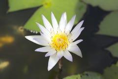 White lotus Royalty Free Stock Photos