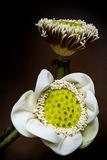 White lotus pods and pollen Stock Photo