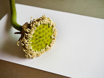 White lotus pods and pollen Stock Images