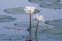 White lotus in a pond Stock Images