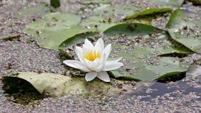 White lotus stock video footage
