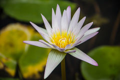 White Lotus. The White Lotus with in lotus pond Royalty Free Stock Photo