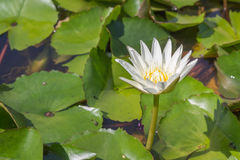 White lotus in a pond Stock Photography