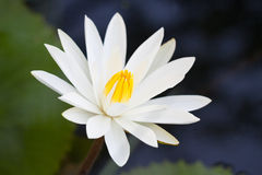 White lotus in pond. Beautiful white lotus (water lily flower) in pond Royalty Free Stock Photography