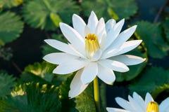White lotus in pond Stock Photos