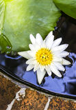 White lotus in pond Royalty Free Stock Image