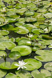 White lotus flower pond( Nymphaeaceae) Stock Image