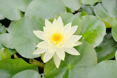 White lotus in the pond. This image is white lotus in the pond. It beautiful image Stock Photo