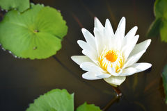 White lotus in the pond. White lotus and leaves in the pond stock photos