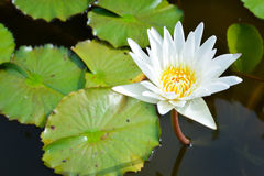White lotus in the pond. White lotus and leaves in the pond royalty free stock photos