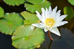 White lotus in the pond Royalty Free Stock Photos