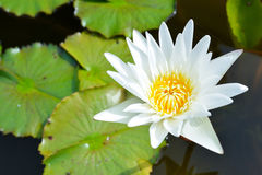 White lotus in the pond. White lotus and leaves in the pond stock photo