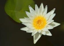 White lotus on the pond Stock Photo
