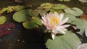 The white lotus in the pond with warm light stock image