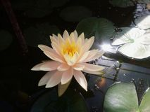 The white lotus in the pond with warm light royalty free stock photos