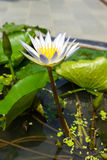 White lotus in pond Stock Image