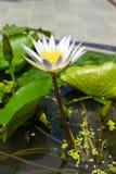 White lotus in pond Stock Image