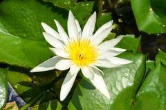 White lotus in pond Royalty Free Stock Photos