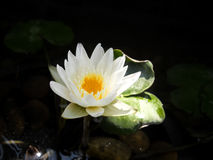 White lotus. White lotus in a pool Stock Photos