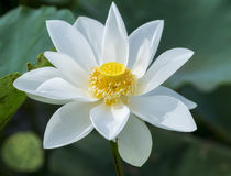 White lotus pure blossoming in the pond royalty free stock image