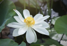 White lotus pure blossoming in the pond. White lotus blossoming in the pond, this is the flower symbolizes the beautiful and pure Buddhism royalty free stock images