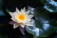 White  Lotus on the River Stock Photo
