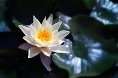 White  Lotus on the River Stock Photo
