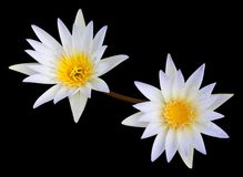 White Lotus Second. Stock Photos