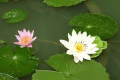 White lotus in shady pond Stock Photos